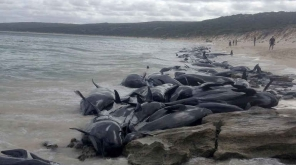 Only 15 Alive Of 150 Whales Beached In Australian Coast Photo Credit- AFP