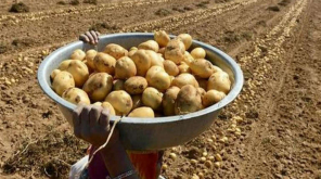 PepsiCo Withdraws the Case against Potato Farmers. Image Source @tedsensei